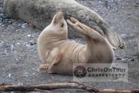 Seal Asana